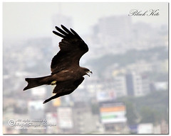 Black Kite in action (- Ariful H Bhuiyan -) Tags: kite black bird south blackkite dhaka chil pakhi bhubon