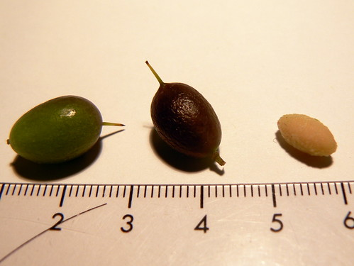 Persoonia pinifolia seeds
