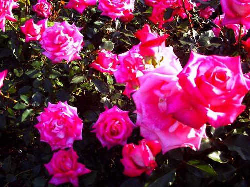 霊山寺「バラ庭園」トイカメラ-10
