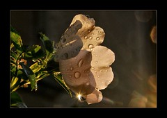 the voice of your eyes (Abra K.) Tags: light sunlight flower reflection rain backlight petals kiss poetry poem blossom ~~ poesia waterdrops rosehip sunbeams eecummings tearsofheaven somewhereihavenevertravelledgladlybeyond thevoiceofyoureyes dedicatedtomysoulbrother