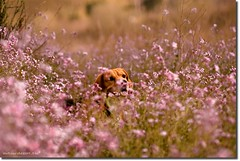 Bigui and the spring. (arturii!) Tags: barcelona flowers portrait plants dog sun flower cute love primavera beagle nature field animal animals wow landscape fun photography photo spring amazing europa europe day view purple superb action bokeh walk violet sunny natura catalonia awsome stunning vista hunter catalunya capture maresme gos catalua barcelone gettyimages flors paisatge vegetaci prat catalogne argentona riera impresive interetsing canoneos400d bigui caadpr arturii triclor arturdebattk