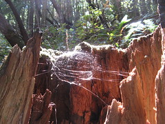 Spider webs in a tree stump