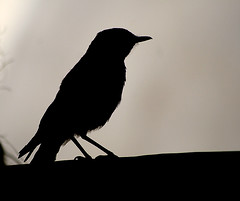 Bird (Azaga ) Tags: bw black bird libya sebha ibrahem ghademes azaga