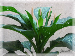 Dieffenbachia bowmannii 'Carriere' at our courtyard, June 12 2009