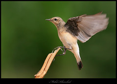 Quick Landing   (mohammad khorshid (boali)) Tags: canon photography is perfect desert wildlife birding landing wetlands kuwait usm quick 4l ef  q8  kwt    600mm    1dmk2n