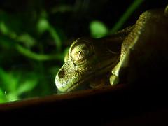 Counting sheep (Hans & Liek) Tags: sleeping nationalpark costarica frog jungle vulcan treefrog kikker tenorio vulkaan cloudforrest boomkikker volcantenorio nevelwoud