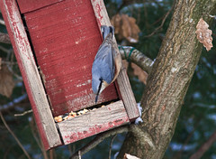 oiseau (danie5411) Tags: hiver manger oiseau noix voler nichoir affut mersange
