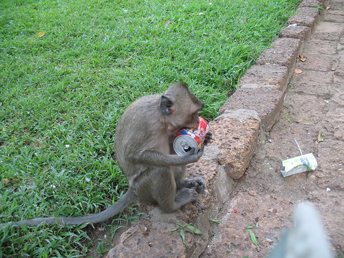 Monkey eats empty Coke can