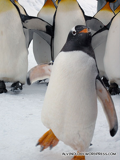 The smaller, mischievious Gentoo Penguin leading the King Penguins pack