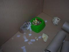 maggot (Blonde_Geek) Tags: hamsters
