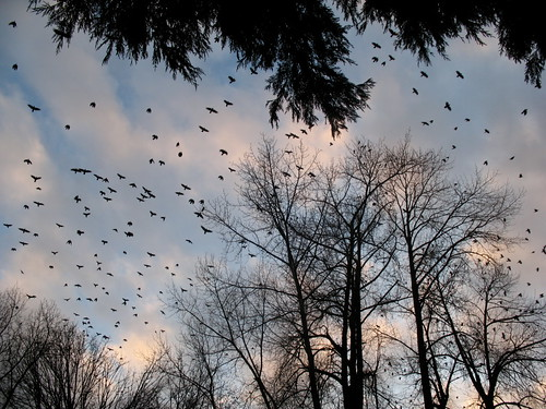 A lot of crows