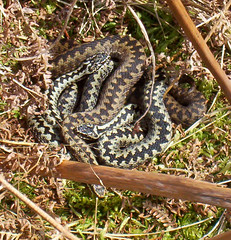 Adders (Wild Eepe) Tags: snake scottish adder vipera berus