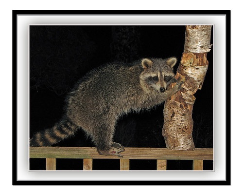 raccoon dining on suet