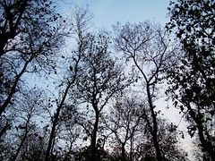 Skyscrapers (asis k. chatt) Tags: trees nature jungle bengal naturephotography naturalpatterns naturescene naturalharmony naturalsilhouette