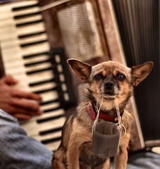 "Day 75 of 365. - ""Begging Dog"" (ArchedRoof) Tags: musician dog portugal animal eyes sad lisboa lisbon rights tiny lonely accordian begging beggingdog"