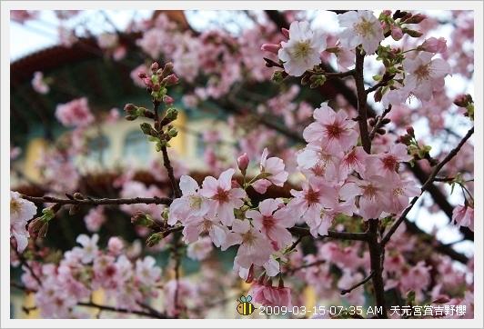 09.03.15 天元宮賞吉野櫻 (7)