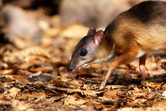 Lesser Mouse Deer/กระจงหนู
