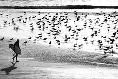 Simple life (flavita.valsani) Tags: ocean sea bw seagulls beach portugal birds mar sand surf surfer pb bn explore porto 200 matosinhos valsani tugolndia