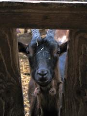 Goat with wattles (sylvie bergere) Tags: goat ziege bommel wattles
