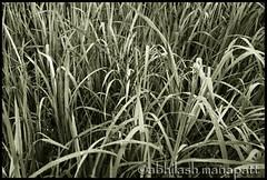 Abstract-BW-Grass-Kannur (Abhilash Manapatt) Tags: abstract blacknwhite greengrass kannur