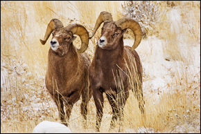 Bighorns, Wyoming, Photograph by Robert Hitchman, All Rights Reserved