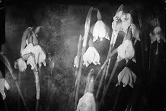 Spring awakening (Vol.1) (Martin.Matyas) Tags: flowers bw flower canon blumen canonef50mmf18 sw blume textur eos400d
