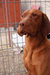 Sit! (zedworks) Tags: dog pet smart golden crazy nikon pointer vizsla romania 1855 kutya magyar intelligent hungarian caine tgmures mures d80 unguresc