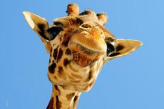 Giraffe spittle