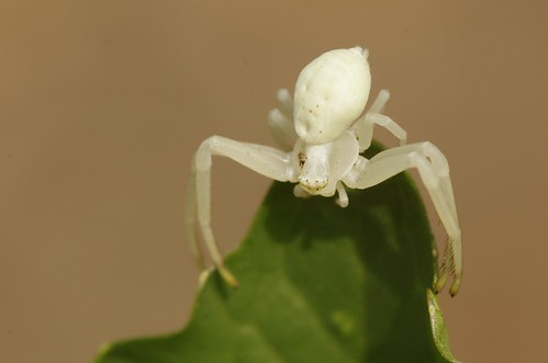Misumena vatia | Kameleonspin, Goldenrod spider