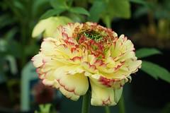 Just Gorgeous (Bob.W) Tags: flower ranunculus masterphotos