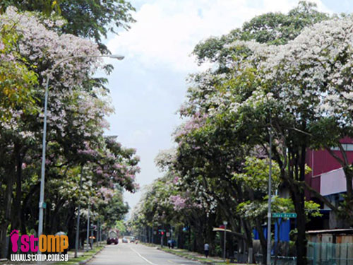 Cherry blossoms do happen in S'pore...at least something like it