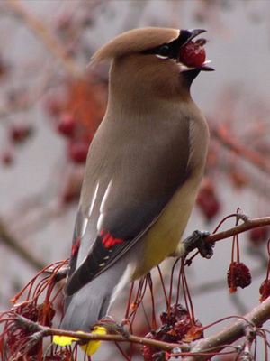 Waxwing bird in Madison, Wisconsin