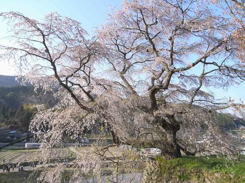 09-04-10【桜】@又兵衛桜-07