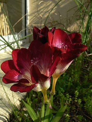 freesia rouge.jpg