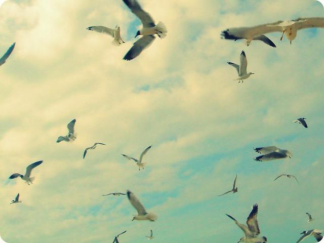 seagulls, St. George Island