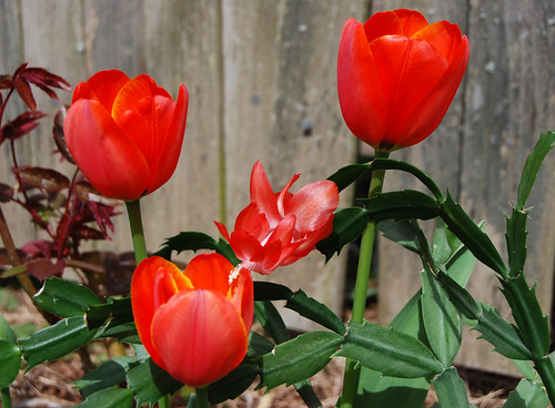 2 - Cactus Tulip