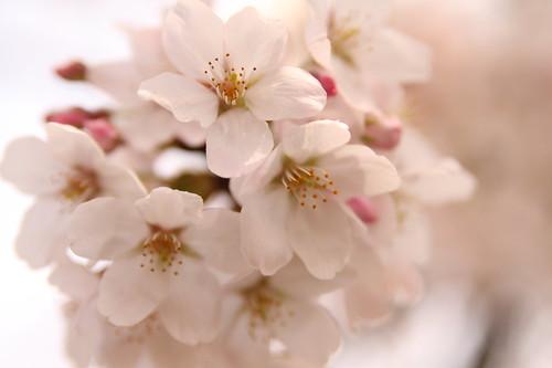 Cherry blossom -Satte no sakura 01-