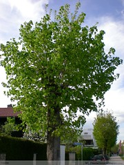 Maple tree without elder