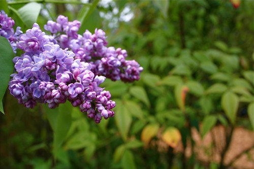lilac is in bloom
