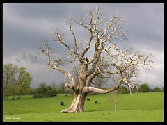 The Old Oak Tree (ColnePoint) Tags: england sunlight southwest tree green landscape grey spring oak nikon stormy somerset deadtree 100views coolpix april 400views 300views 200views 50views bitton 8800 150views uptoncheyney 350views southwestengland 250views 450views