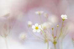 Spring Starburst (Jacky Parker Photography) Tags: flowers white macro nature closeup flora alpine tiny starburst flowerotica rockjasmine androsaceseptentrionalis bokehphotography