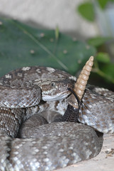 Texas Black-tailed Rattlesnake (rdodson76) Tags: wild ecology animal tongue danger texas nocturnal desert reptile snake wildlife conservation strike taste poison behavior biology thermal rattle venomous herpetology toxin rattler crotalusmolossus pitviper blacktailedrattlesnake