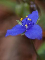 Cullinan Park - Spiderwort