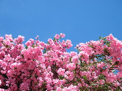 pink fuji oleander s2000