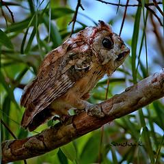 เค้ากู่ นกฮูก Collared Scops-Owl