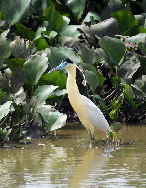 capped heron2