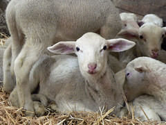 Agneaux en bergerie  (Cévennes)