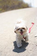 keep on keepin' on (Ash-Mac) Tags: shadow hairy dog cute smiling fun novascotia fuzzy tzu shihtzu fluffy running run adventure trail halifax benji parkland brownandwhitedog