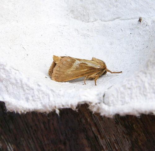 Common Swift (Hepialus lupulinus)