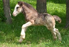 Rocket Butt (Cosmopolitan Horse Farm) Tags: summer blackandwhite horse haircut green grass spring play feather run pasture gypsy gallop drafthorse foal mareandfoal gypsyvanner gypsyhorse gypsycob